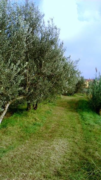 Oljke - drevored