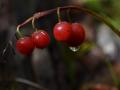 Bohinj - plodovi